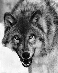 Canis_lupus_portraitDP.jpg