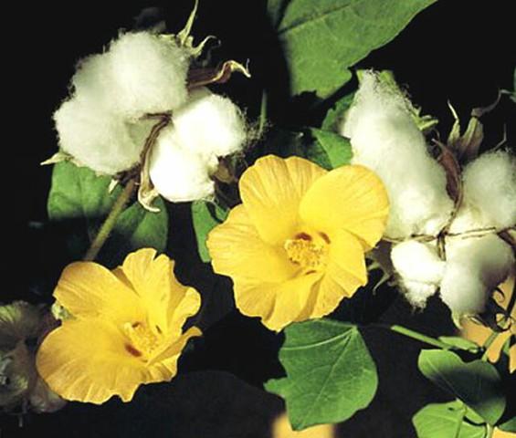 Cotton_Levant_Seeds_Gossypium_Herbaceum__04514.1574144691.jpg