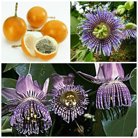 Passiflora_ligularis_700.jpg